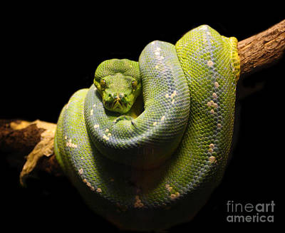Photograph - Green Snake by Gualtiero Boffi