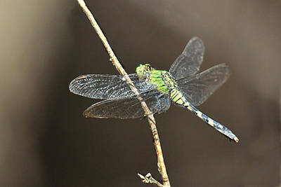 Photograph - Green Snaketail Dragonfly by Alan Lenk