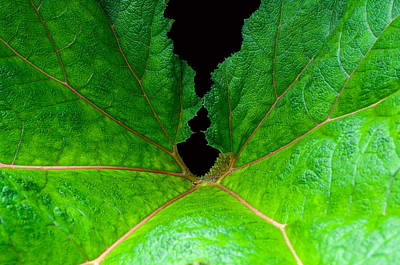 Photograph - Green Spider Leaf by Tikvah's Hope