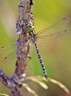 Photograph - Green-striped Darner Dragonfly by Bernard Lynch