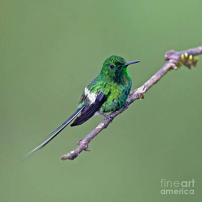 Discosura Photograph - Green Thorntail by Jean-Luc Baron