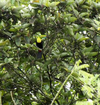 Green Toucan  Original by William Patterson