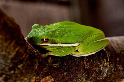 Photograph - Green Tree Frog by James Granberry