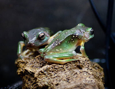 Photograph - Green Tree Frogs by Carole Hinding