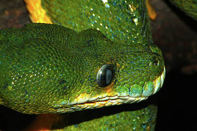 Photograph - Green Tree Python by Scott Hovind
