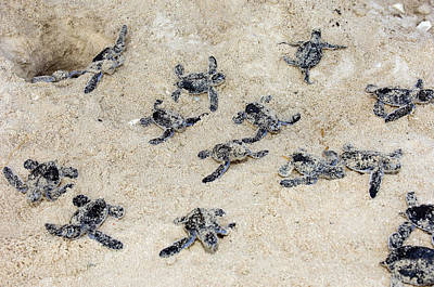 Green Sea Turtle Photograph - Green Turtle Hatchlings by Matthew Oldfield