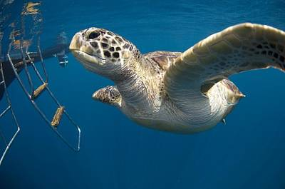 Green Sea Turtle Photograph - Green Turtle Swimming by Peter Scoones
