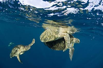Small Turtle Photograph - Green Turtles Mating by Matthew Oldfield
