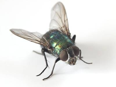 Greenbottle Fly Art Print by Dr Jeremy Burgess