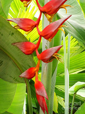Greenhouse Heliconia Art Print by Stephen Mack