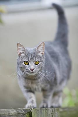Yellow Eyes Photograph - Grey Cat by Jorja M. Vornheder