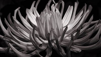 Photograph - Grey Dahlia by Deborah Runham