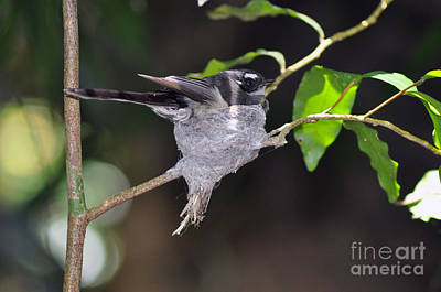 Photograph - Grey Fantail Nesting by Joanne Kocwin