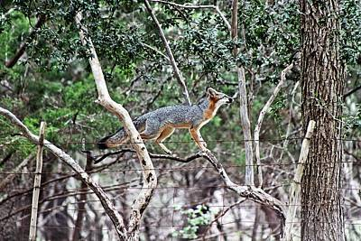 Texas Photograph - Grey Fox IIi by Monica Wheelus