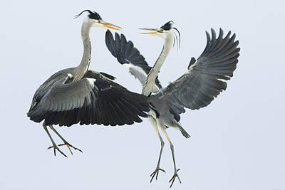 Photograph - Grey Heron Ardea Cinerea Pair Fighting by Konrad Wothe