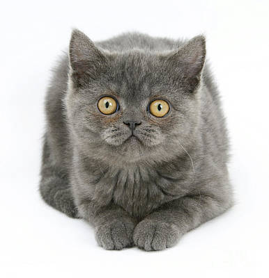 Photograph - Grey Kitten by Mark Taylor