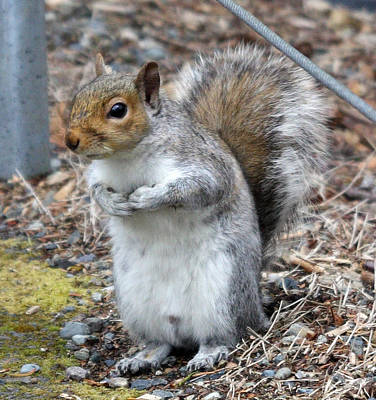 Photograph - Grey Squirrel - 0001 by S and S Photo