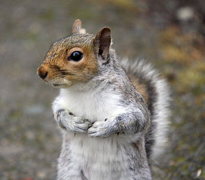 Photograph - Grey Squirrel - 0002 by S and S Photo