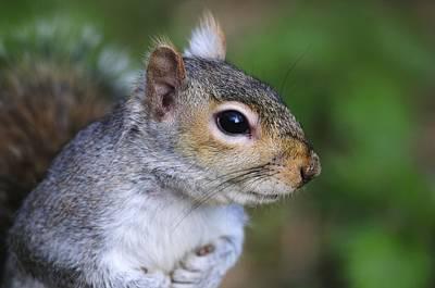 Grey Squirrel Art Print by Colin Varndell