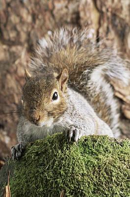 Grey Squirrel Art Print by David Aubrey