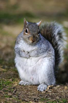 Grey Squirrel Sitting On The Ground Art Print by Colin Varndell