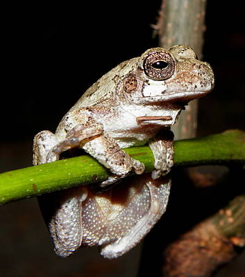 Photograph - Grey Tree Frog II by Griffin Harris