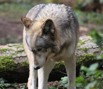 Photograph - Grey Wolf - 0007 by S and S Photo