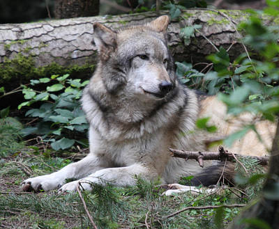 Photograph - Grey Wolf - 0010 by S and S Photo