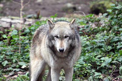 Photograph - Grey Wolf - 0012 by S and S Photo