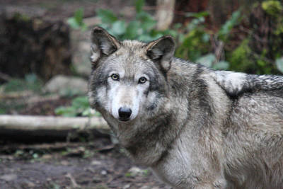 Photograph - Grey Wolf - 0013 by S and S Photo