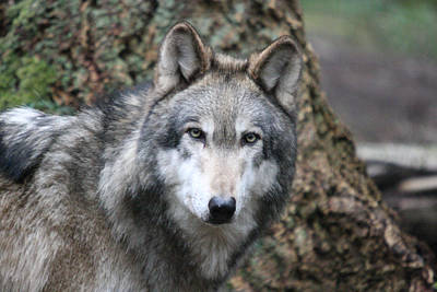 Photograph - Grey Wolf - 0014 by S and S Photo