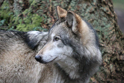 Photograph - Grey Wolf - 0015 by S and S Photo