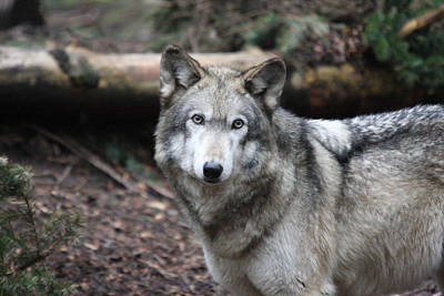Photograph - Grey Wolf - 0016 by S and S Photo
