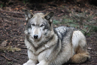 Photograph - Grey Wolf - 0017 by S and S Photo