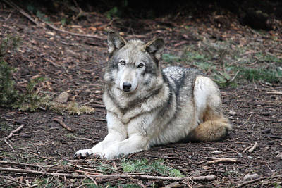 Photograph - Grey Wolf - 0018 by S and S Photo