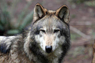 Photograph - Grey Wolf - 0019 by S and S Photo