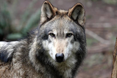 Photograph - Grey Wolf - 0020 by S and S Photo