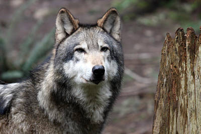 Photograph - Grey Wolf - 0021 by S and S Photo