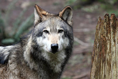 Photograph - Grey Wolf - 0022 by S and S Photo