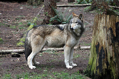 Photograph - Grey Wolf - 0023 by S and S Photo