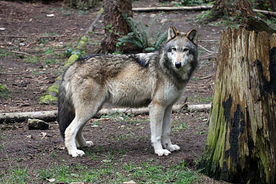 Photograph - Grey Wolf - 0024 by S and S Photo