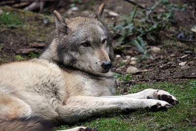 Photograph - Grey Wolf - 0025 by S and S Photo