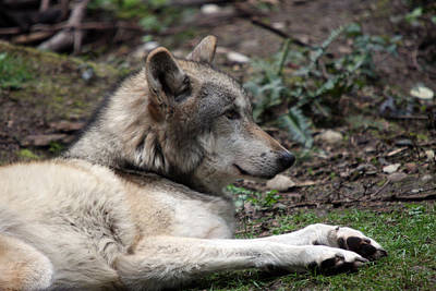 Photograph - Grey Wolf - 0026 by S and S Photo