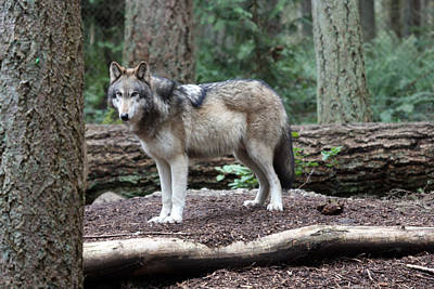 Photograph - Grey Wolf - 0027 by S and S Photo