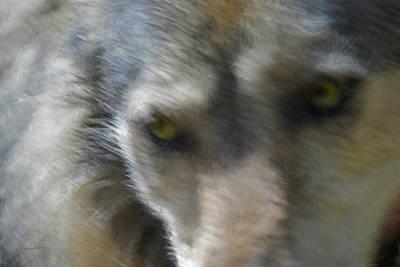 Canines Digital Art - Grey Wolf Painterly by Ernie Echols