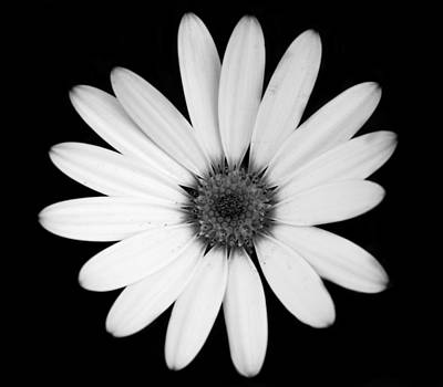 Greyscale Osteospermum Art Print by Victoria Wise