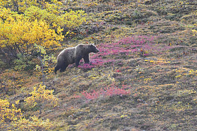 Photograph - Grizzly At Sable Pass by Alan Lenk
