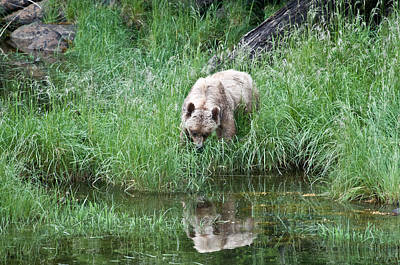 Grizzly Bear And Reflection On Prince Rupert Island Canada 2209 Art Print