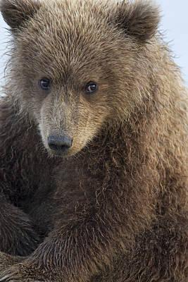 Photograph - Grizzly Bear Ursus Arctos Horribilis by Ingo Arndt