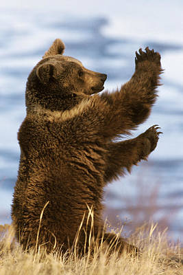 Photograph - Grizzly Bear Ursus Arctos Horribilis by Konrad Wothe